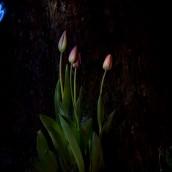 3-tulipany_drzewo