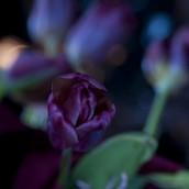 7-tulipany2020_5